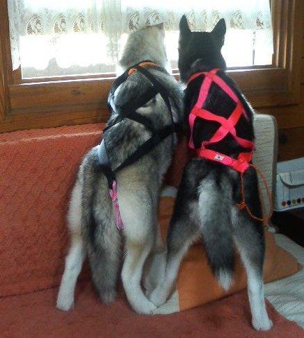 犬ぞり-スプリント