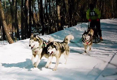 犬ぞりのトレーニング