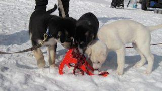 犬ぞりの装備